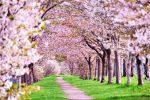 sakura-feature-top01